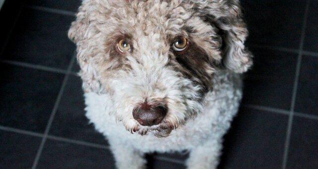 Экзотические собаки: причудливые породы собак