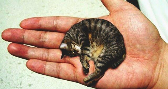 Самый маленький кот в мире Мистер Пиблз
