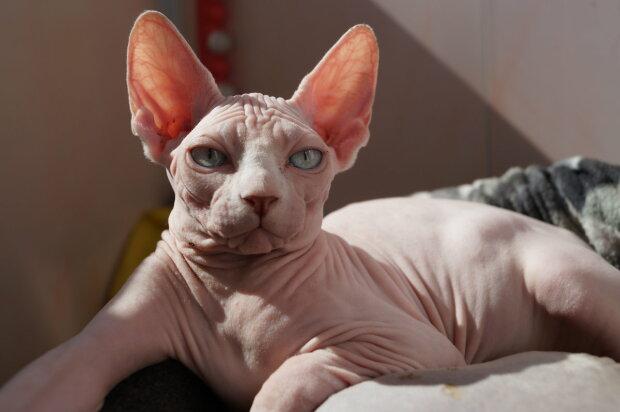 Есть аллергия на персидских кошек