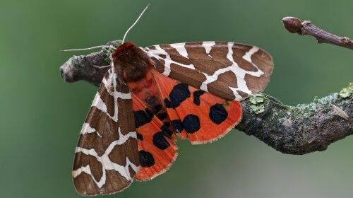 Вчені показали фото гігантської волохатої метелики з Чорнобиля