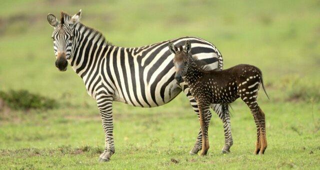 в Кении появилась уникальная зебра