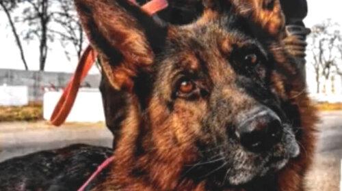 Украинские собаки-защитники: они ловят преступников наравне с полицейскими