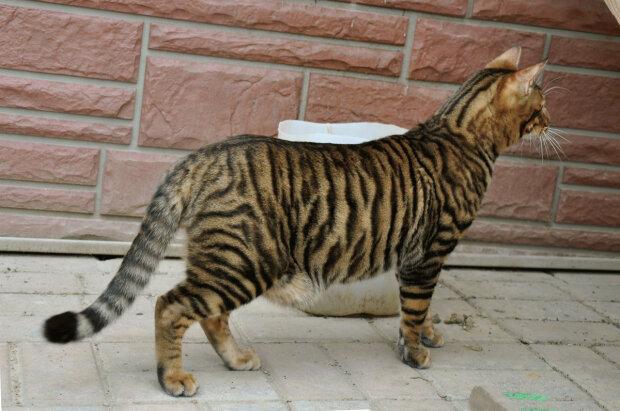 Породы кошек, которые вскоре могут исчезнуть. Фото,