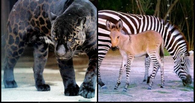 Найдивніші гібриди тварин