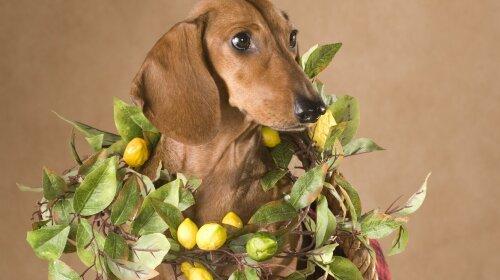 Мережу розсмішила реакція собаки на кислий лимон (фото і відео)