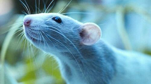 Белая Крыса на пороге: каких сюрпризов ждать в 2020 году