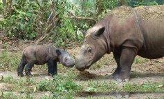 Умерла последняя в мире самка суматранского носорога