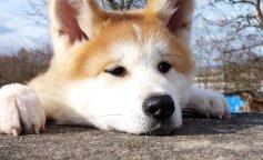 Сеть рассмешил самый щекастый пес в мире (фото и видео)
