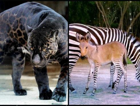 Самые странные гибриды животных