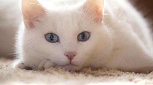 Кішки-талісмани: породи кішок, які притягують удачу