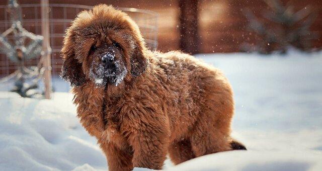 Собака тибетський мастиф