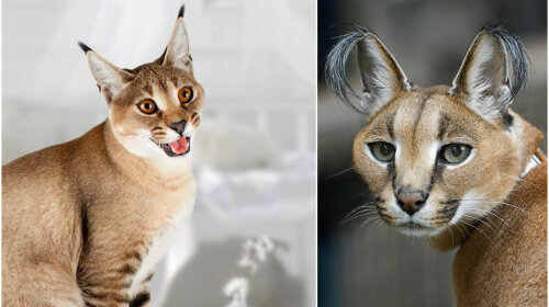 Три нові незвичайні породи кішок