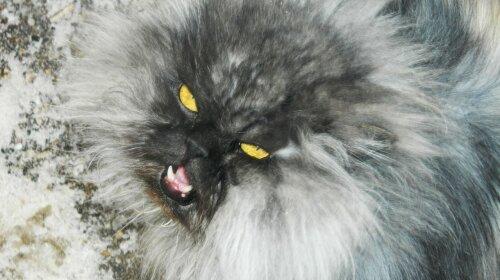 Посланник пекла: самий пухнастий кіт у світі налякав користувачів своєю зовнішністю