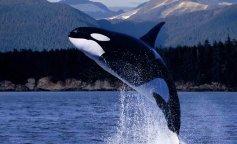 косатки, факты о косатка, киты-убийцы