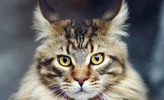 Найден самый длинный кот в мире: фото красавца
