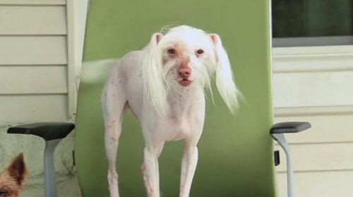 Безволосая собака позабавила пользователей Сети смешным танцем на стуле