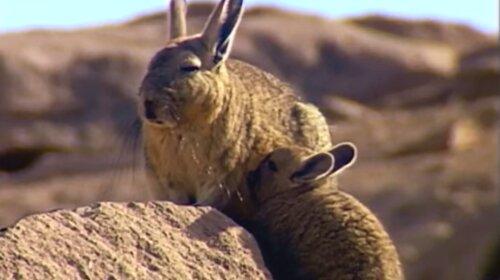 Вискаша: самый уставший в мире зверь, мило до невозможности (фото)