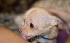 ТОП-7 маленьких собак, которых нельзя заводить, если у вас есть дети (ФОТО)