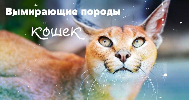 Вимираючі породи кішок: незвичайні кішки