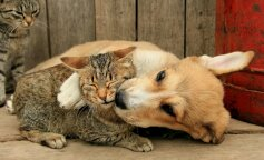 Мережу насмішило кошеня, яке намагалося подружитися з великою собакою (відео)