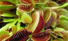 хищный цветок. мухоловка, оригинальное растение