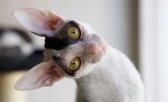 Экзотичные породы кошек