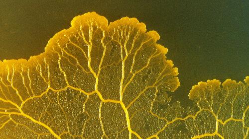 Наука: слизова цвіль Physarum Polycephalum