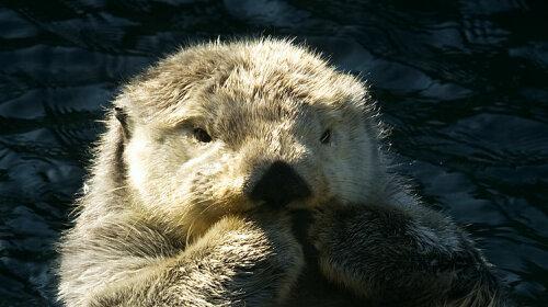 Клан или морская выдра: невероятно милое существо! (фото)
