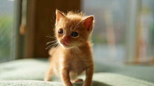 Мережу розсмішило найменше кошеня в світі (фото і відео)