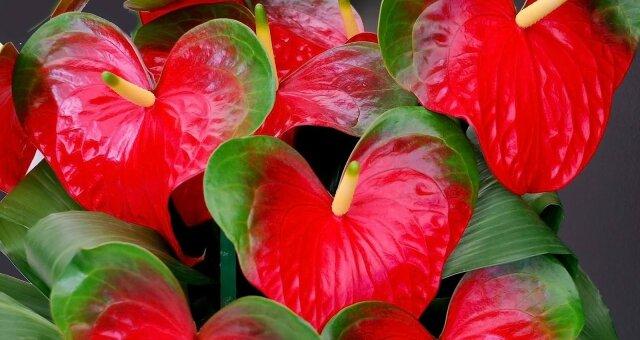 Комнатные цветы, которые приносят любовь