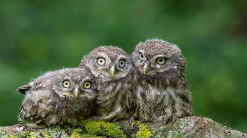 совята, фото, відео, пташенята
