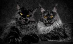 Самые редкие черные породы кошек