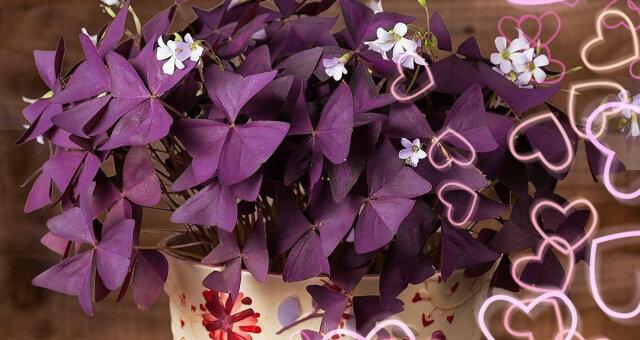 Комнатные цветы, приносящие любовь
