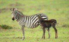 у Кенії з'явилася унікальна зебра