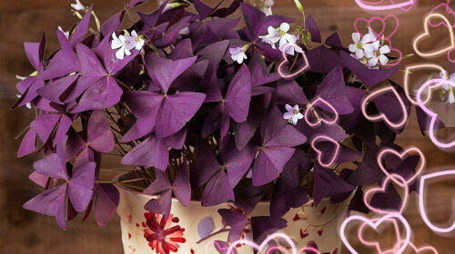 Кімнатні квіти, що приносять любов