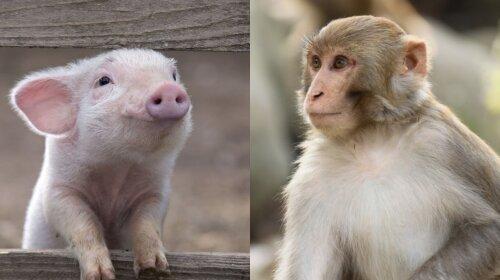 Китайские ученые впервые создали гибрид свиньи и обезьяны