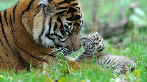 Тигрица учит тигренка плавать: фото