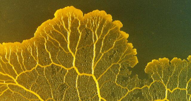 Наука: слизистая плесень Physarum Polycephalum