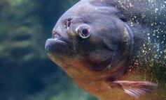 Риба з людськими зубами