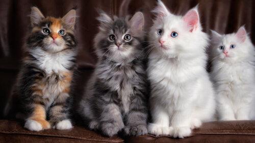 Самі пухнасті породи кішок
