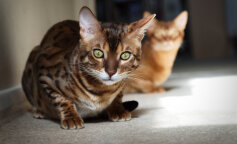 Найдорожчі кішки в світі: породи кішок