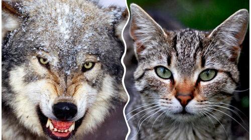 нова порода кішок лікою