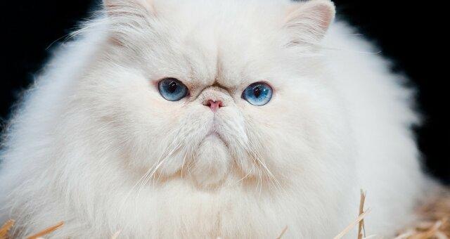 Три породы кошек вызывают самую сильную аллергию