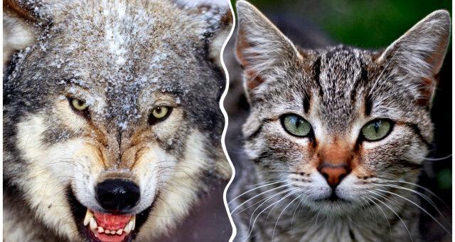 новая порода кошек ликой