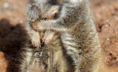 Baby Meerkats at Bristol Zoo