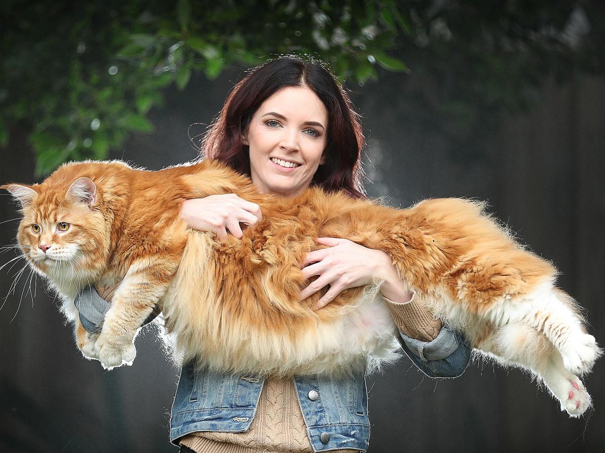 картинки самых огромных котов костя