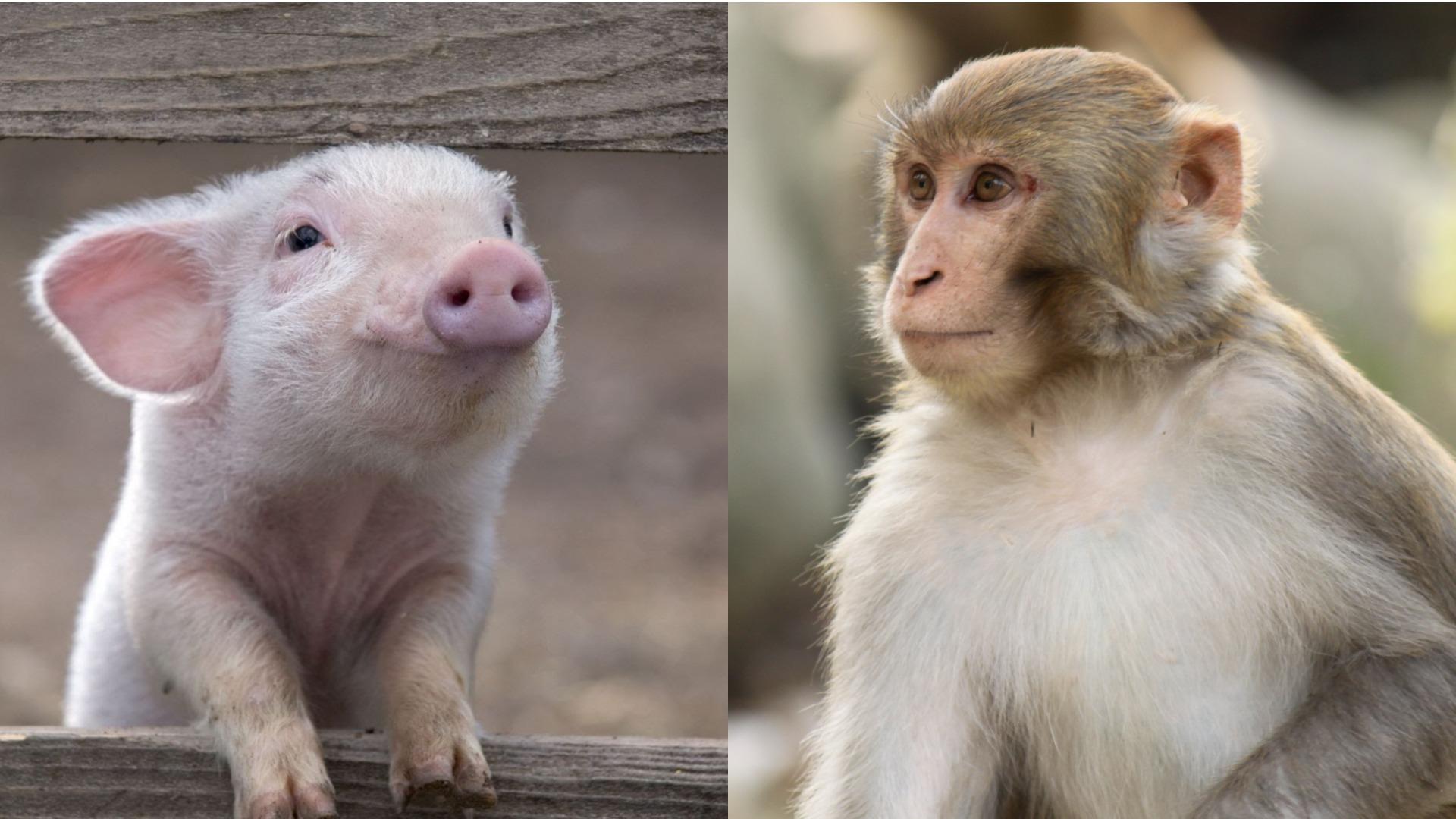 Картинки по запросу в китае свинья и обезьяна